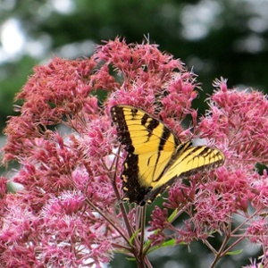 Sebert_-_joe-pye-weed-551130-edited